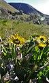 Balsamorhiza careyana- Yakima Canyon.jpg