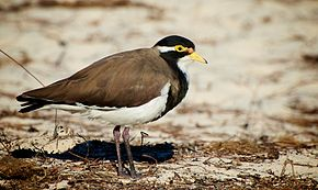Description de l'image Banded Lapwing Rottnest.jpg.