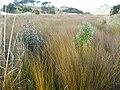 Banksia integrifolia L.f. (AM AK291450-6).jpg