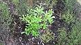 Banksia integrifolia L.f. (AM AK339471-2).jpg