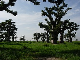 Baobab forest senegal.JPG