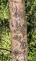 Bark of Picea abies 01.jpg