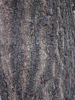Senna (plant) - Bark of Senna siamea