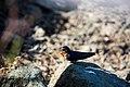 Barn swallow (48106006637).jpg
