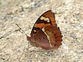 Baronet Euthalia nais (7921548952).jpg