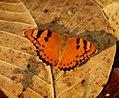 Baronet Euthalia nais at Kanha Tiger Reserve, Madhya Pradesh IMG 9929 (8).JPG