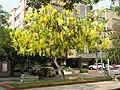 Barranquilla Lluvia de oro.jpg