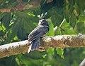 Barred Owlet-nightjar. Aegotheles bennettii (48694015672).jpg