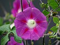 Batatilla (Ipomoea purpurea) - Flickr - Alejandro Bayer (4).jpg
