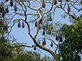 Bats Junagarh.jpg