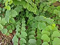 Bauhinia purpurea 25.jpg