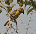 Baya Weaver (Ploceus philippinus) in Hyderabad, AP W IMG 1388.jpg