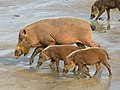 Bearded Pigs (Sus barbatus) female with youngs (8220051061).jpg