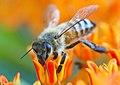 Bee (2632994523).jpg