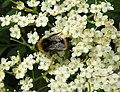 Bee (28082440856).jpg