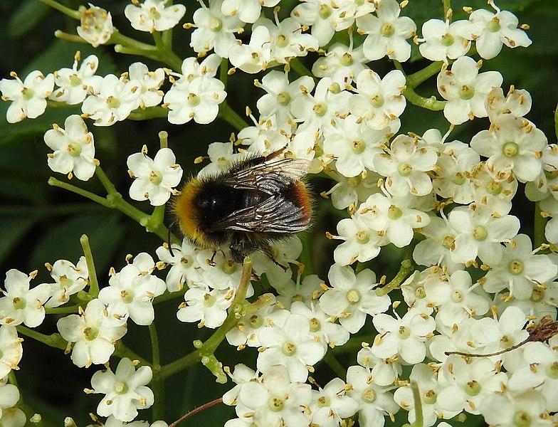 File:Bee (28082440856).jpg