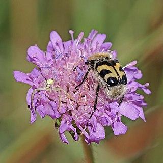 Bee beetle (Trichius fasciatus) and flower crab spider (Thomisidae sp.)