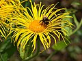 Bee on Inula, Dartington - geograph.org.uk - 1401487.jpg