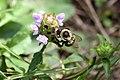 Bee on a flower (4896402830).jpg