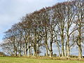 Beech Trees 2 - geograph.org.uk - 114260.jpg