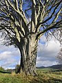 Beech tree on Peebles Golf Course - geograph.org.uk - 597511.jpg
