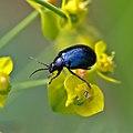 Beetle (34874813322).jpg
