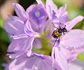 Beetle and Water Hyacinth, Uganda (15687275351).jpg