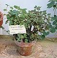 Begonia dregei - Bergianska trädgården - Stockholm, Sweden - DSC00476.JPG