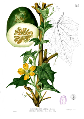 Wachskürbis (Benincasa hispida), Illustration