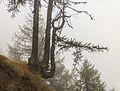 Bergtocht van Vens naar Bettex in Valle d'Aosta (Italië). Bomen langs bergpad in dichte mist 08.jpg