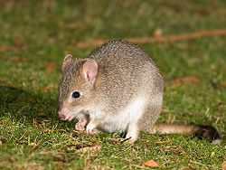 definition of bettong