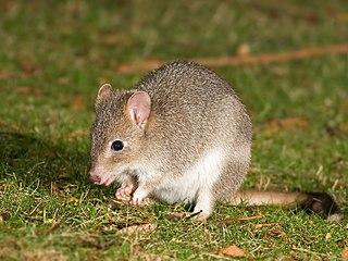 Bettong genus of mammals