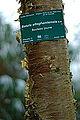 Betula alleghaniensis-DSC 7321.jpg