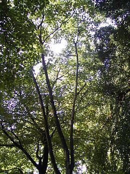 Betula maximowicziana 01-10-2005 12.43.36