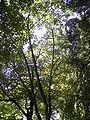 Betula maximowicziana 01-10-2005 12.43.36.JPG