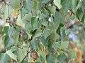 Betula pendula - Bela breza (3).jpg
