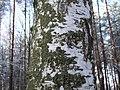 Betula pendula 1.jpg