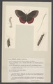 Biblis - Print - Iconographia Zoologica - Special Collections University of Amsterdam - UBAINV0274 003 01 0061.tif