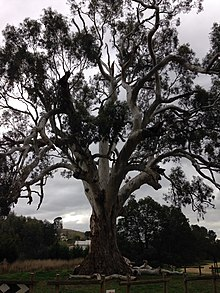 Photograph of The Big Tree