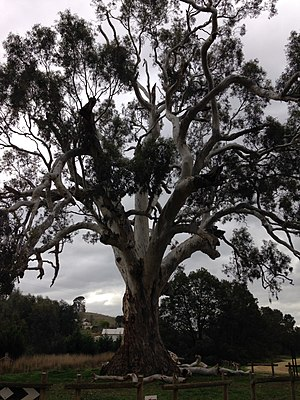 Guildford, Victoria - The Big Tree, 'River Red Gum' Eucalyptus camaldulensis (fam. Myrtaceae) on outskirts of Guildford, Victoria Australia.