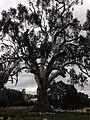 Big Tree Guildford, Victoria.jpg