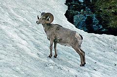 ovis canadensis canadensis bighorn ram full curljpg