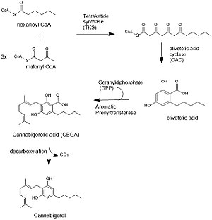 Cannabigerol - Biosynthesis of cannabigerol