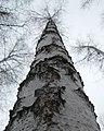 Birch берёзка - panoramio.jpg