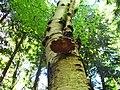 Birch Polypore (Piptoporus betulinus) (3545406415).jpg