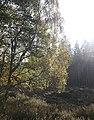 Birch leaves - geograph.org.uk - 260670.jpg