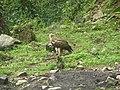 Bird Himalayan Griffon IMG 0438 01.jpg