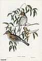 Bird illustration by Elizabeth Gould for Birds of Australia, digitally enhanced from rawpixel's own facsimile book250.jpg