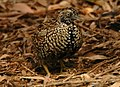 Black-breasted Button-quail male inskip (cropped).JPG