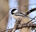 Black-capped Chickadee (25764578771).jpg
